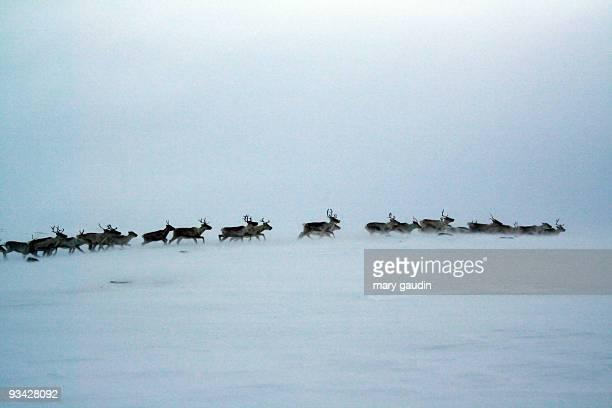 reindeer in a snow storm - mandria foto e immagini stock