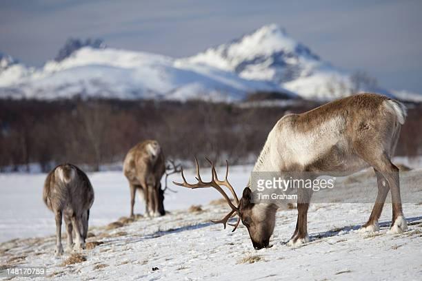 Reindeer in Arctic Landscape, Tromso, Norway