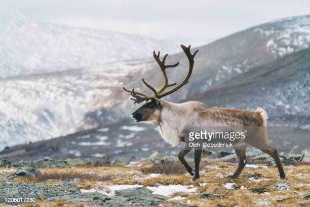 reindeer in mongolia in winter - reindeer stock pictures, royalty-free photos & images