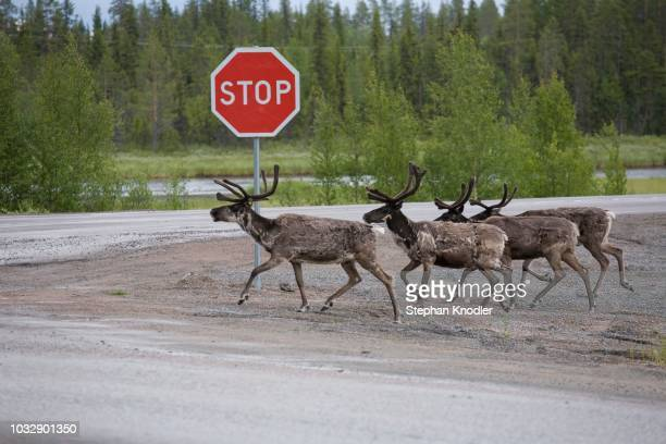 reindeer (rangifer tarandus) in the road with a stop sign, e10, sweden, scandinavia - running deer shooting stock pictures, royalty-free photos & images