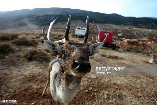 A reindeer is seen at a private owned reserve in the village of Ana in western Bekaa Valley in central Lebanon on October 18 2015 AFP PHOTO/JOSEPH EID