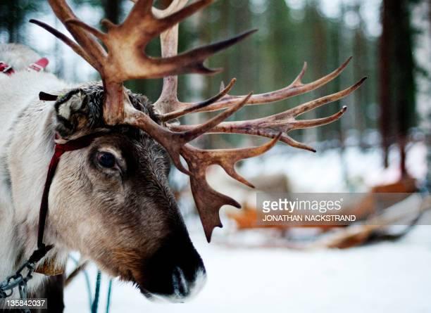 A Reindeer is seen in the Santa Claus Village near Rovaniemi Finnish Lapland on December 15 2011 AFP PHOTO /JONATHAN NACKSTRAND