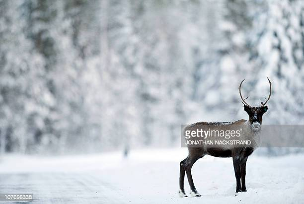A reindeer is seen on a road on December 20 2010 near the village of Vuollerim Lapland province west of the coastal city of Luleaa Thousands of...