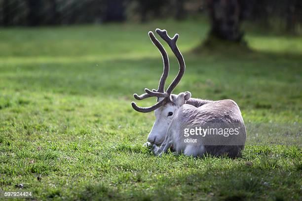 Reindeer, Karasjok, Finmark, Norway