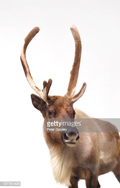 reindeer looking into camera - reindeer stock photos and pictures