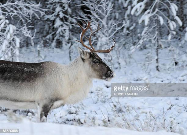 A reindeer looks for grass in a snowy field near Torvinen on november 17 in Lapland early in the morning AFP PHOTO/ OLIVIER MORIN