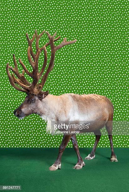 Reindeer on Carpet and Wallpaper