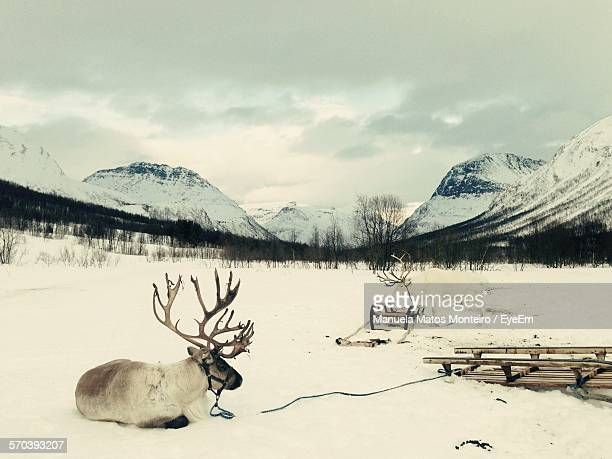 Reindeer On Snow Covered Field Against Mountains