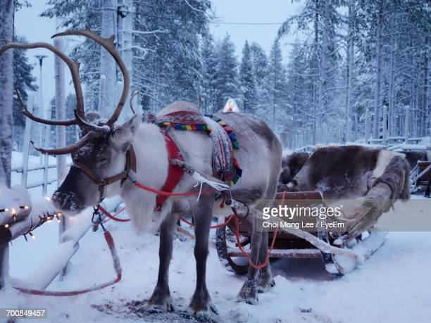 reindeer on snow field against sky - rentier stock-fotos und bilder