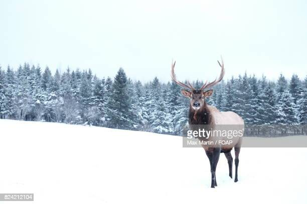 Reindeer on snowy landscape during winter