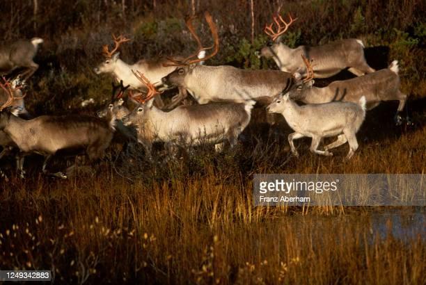 reindeer on the run, finnmark, norway - tundra stock-fotos und bilder