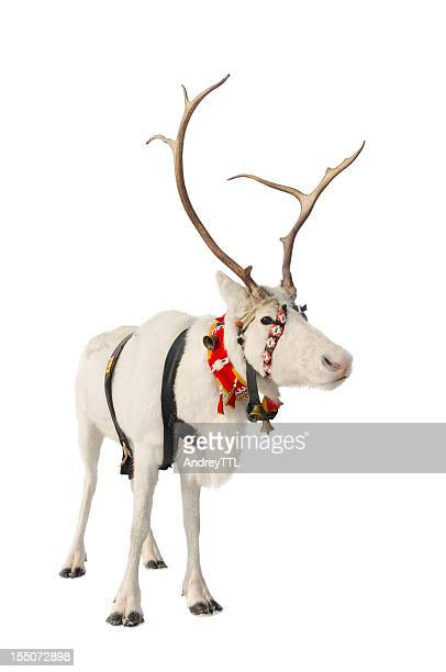 reindeer on white - reindeer stock pictures, royalty-free photos & images