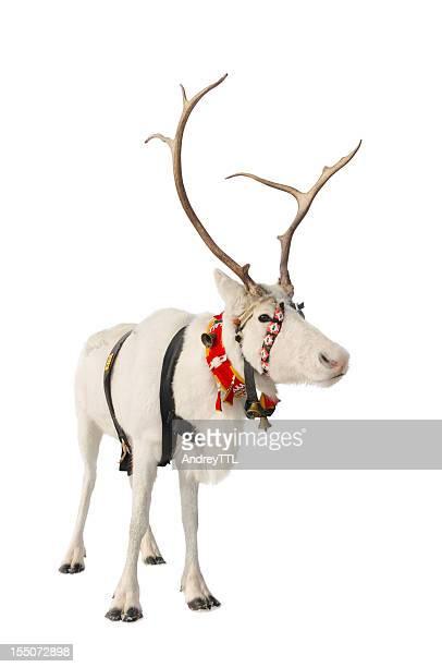 Reindeer on white