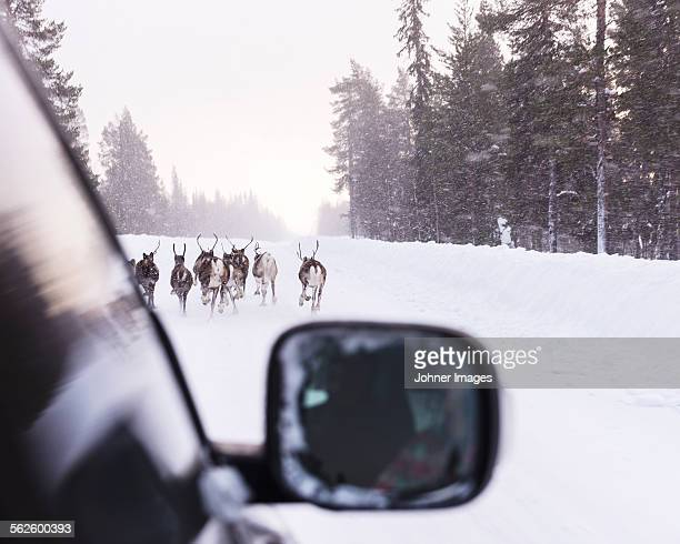 reindeer on winter road seen from car - swedish lapland stock photos and pictures