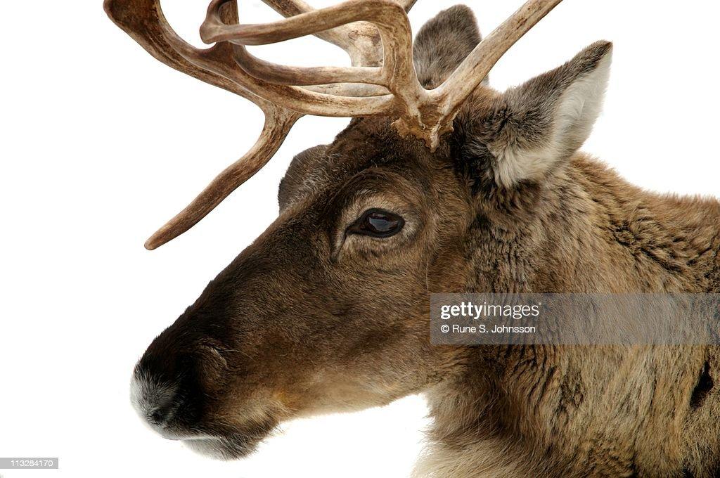Reindeer : Stock Photo