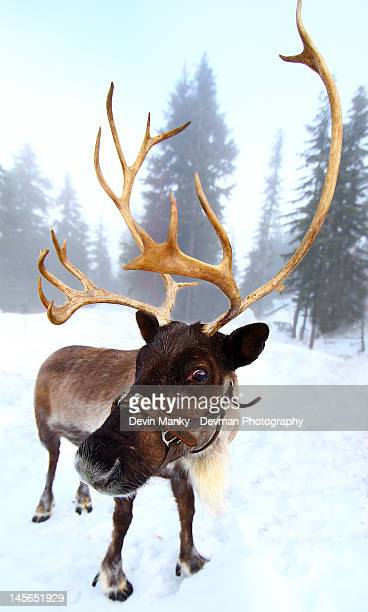 reindeer - reindeer stock pictures, royalty-free photos & images
