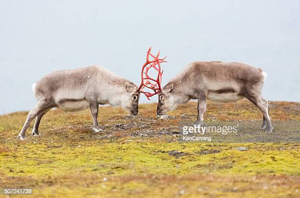 reindeer - buck stock photos and pictures
