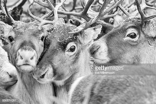 reindeer - swedish lapland stock photos and pictures