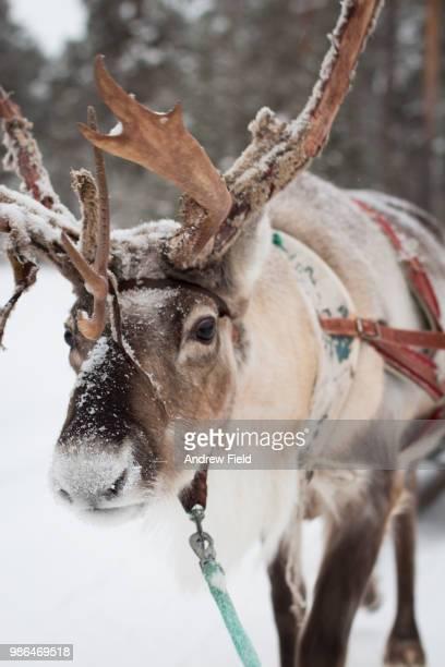 reindeer - reindeer stock photos and pictures