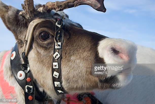 reindeer portrait - swedish lapland stock photos and pictures