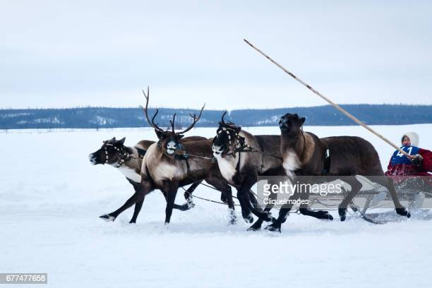 reindeer races in siberia - cliqueimages stock pictures, royalty-free photos & images