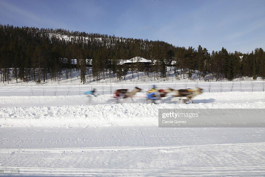 Reindeer Races : Stock-Foto