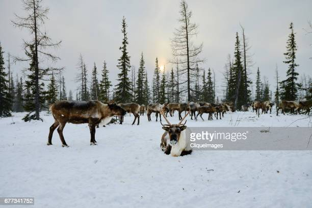 reindeer resting in forest - cliqueimages stock pictures, royalty-free photos & images