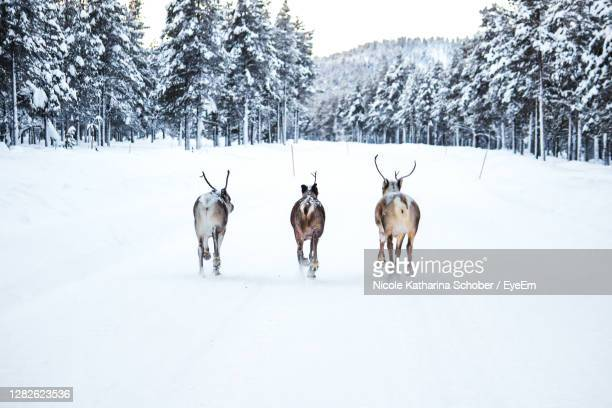 reindeer running on snow covered street - finland stock pictures, royalty-free photos & images