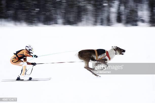 reindeer skiiing - ski racing stock pictures, royalty-free photos & images