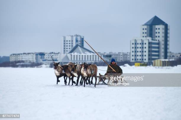 reindeer sledding in siberia - cliqueimages stockfoto's en -beelden