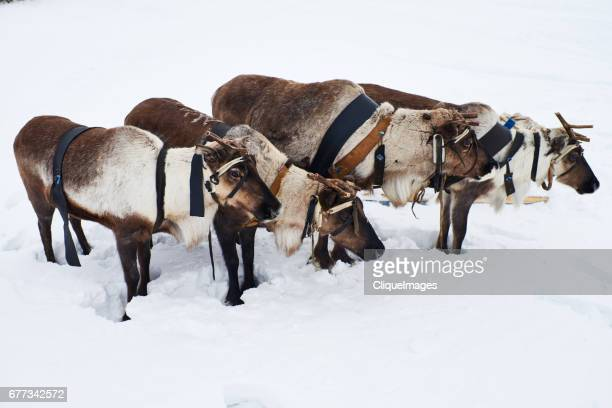 reindeer sleigh team - cliqueimages stock pictures, royalty-free photos & images