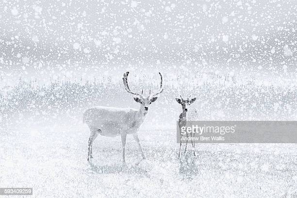 Reindeer stand in a clearing as the snow falls