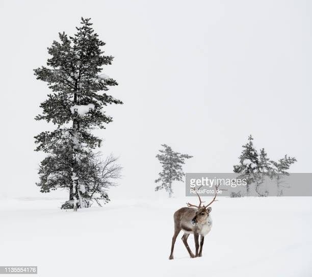 reindeer standing in snow in winter landscape of finnish lapland, finland - winter stock pictures, royalty-free photos & images