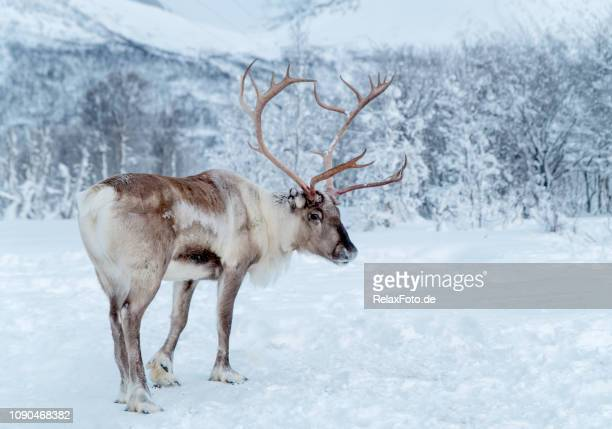 reindeer standing in snowcovered wilderness of troms county, norway - renna foto e immagini stock