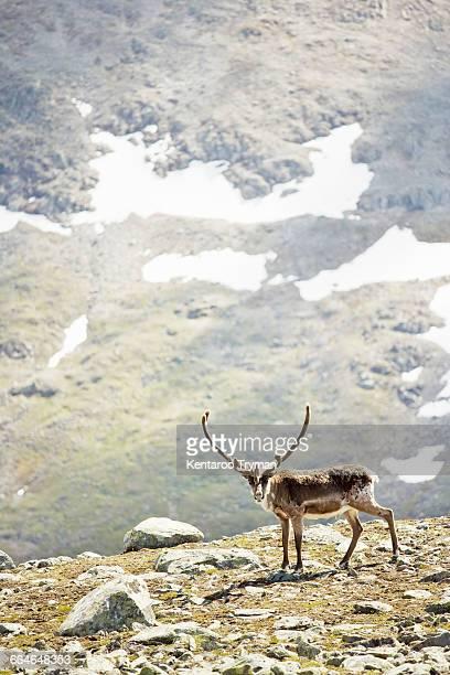 Reindeer standing on mountain