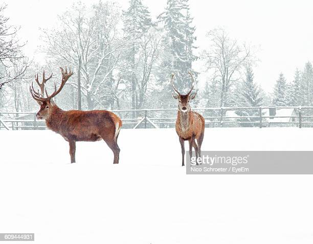 Reindeer Standing On Snow Covered Field Against Trees