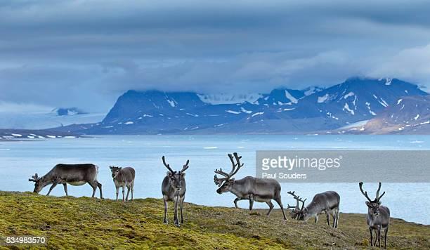 reindeer, svalbard, norway - スヴァールバル諸島 ストックフォトと画像