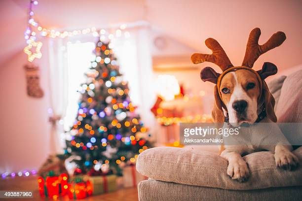 Rudolph, the red-nosed beagle dog