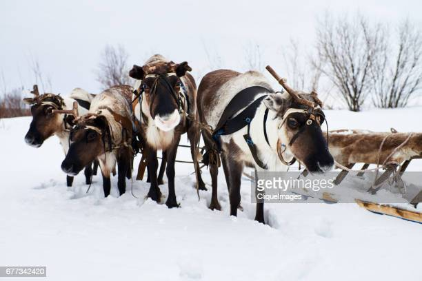reindeer waiting for herder - cliqueimages stock pictures, royalty-free photos & images