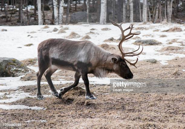 reindeer walking across a forest in winter in sweden - brown cartoon characters stock pictures, royalty-free photos & images