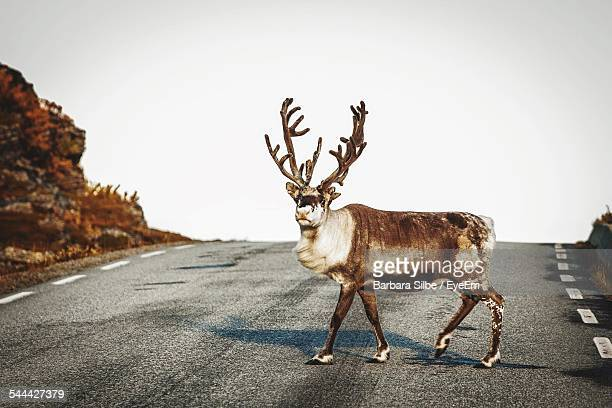 reindeer walking across road - rentier stock-fotos und bilder