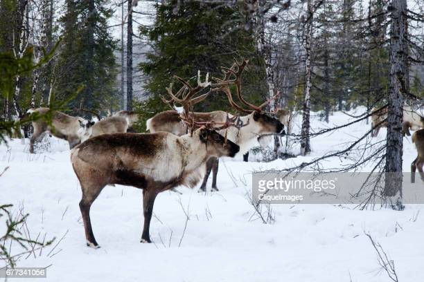 reindeer walking in forest - cliqueimages - fotografias e filmes do acervo
