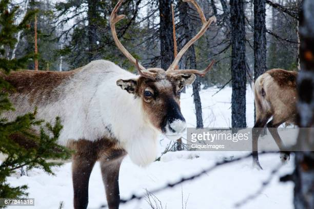 reindeer walking in the woods - cliqueimages - fotografias e filmes do acervo
