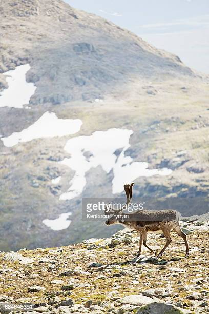 Reindeer walking on mountain