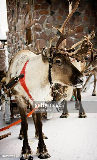 Reindeer wearing red harness in snow