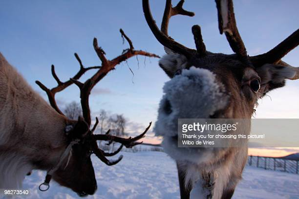 a reindeer with a nose of snow - rentier stock-fotos und bilder