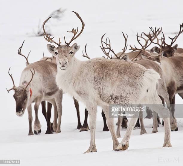 reindeer with antlers - reindeer stock pictures, royalty-free photos & images