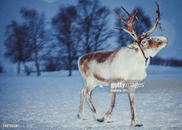 reindeer with harness standing on snow covered landscape, kiruna, sweden - swedish lapland stock-fotos und bilder