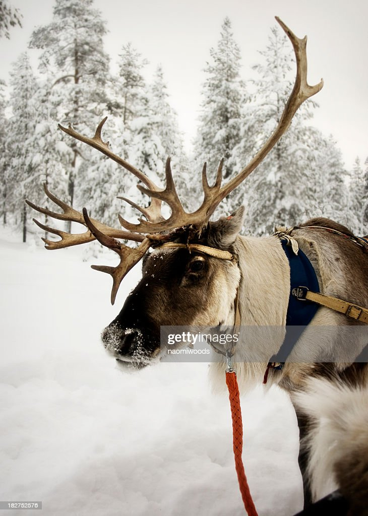 Reindeer with red leash in the snow : Stock Photo