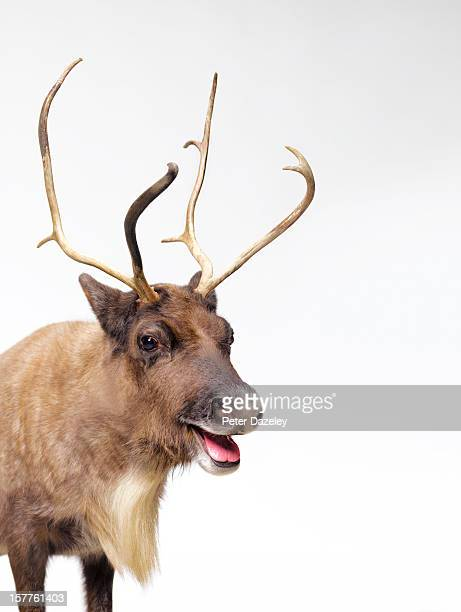 Reindeer with tongue out